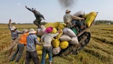 Vietnamese famers are harvesting rice