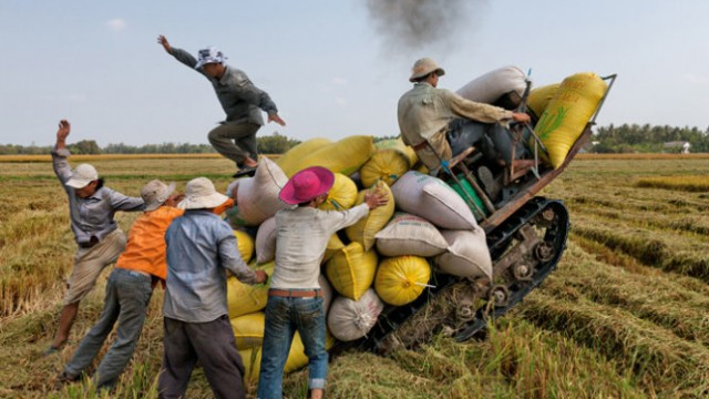 Vietnamese famers are harvesting rice