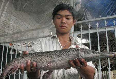 The spotted gar (Lepisosteus oculatus) which was caught by Nguyen Thanh Nhan in Cai Von Town, Binh Minh District, Vinh Long Province in May 2012.