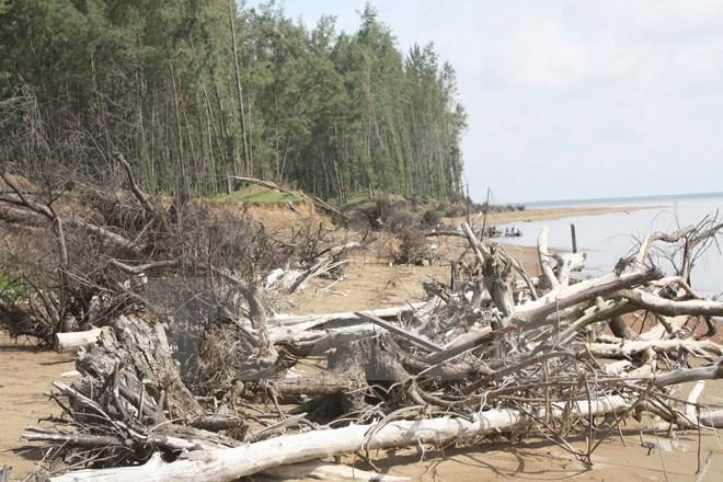 Coastal protection forest. (Photo: VNA)