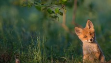 01-red-fox-estonia-850x566